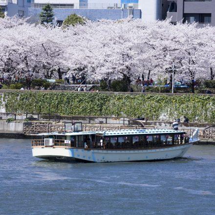 河川敷の満開の桜と川面に停泊して観覧する屋形船