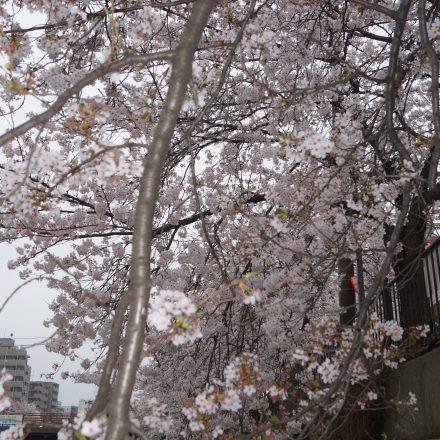 間近で見る咲き誇る桜