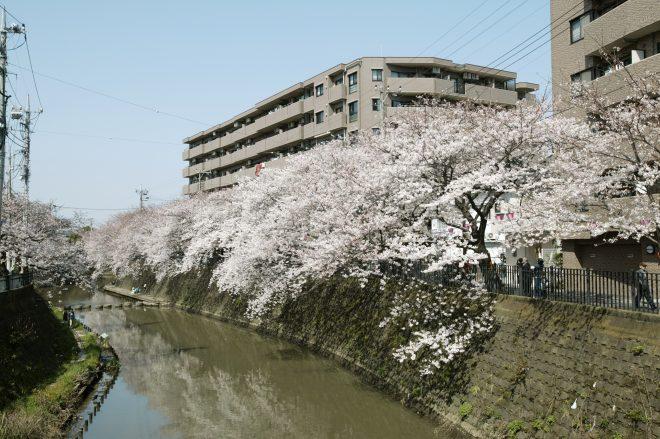 河川沿いに咲き誇る桜並木