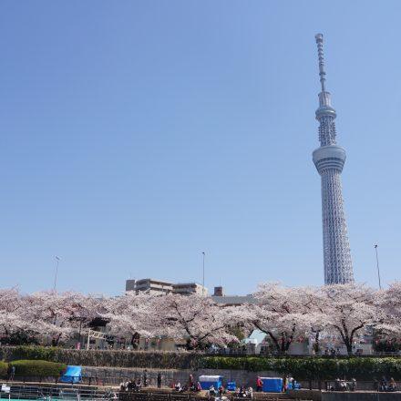 満開に咲き誇る桜とスカイツリー