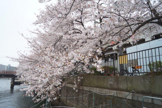 川に浮かぶ船から見た桜