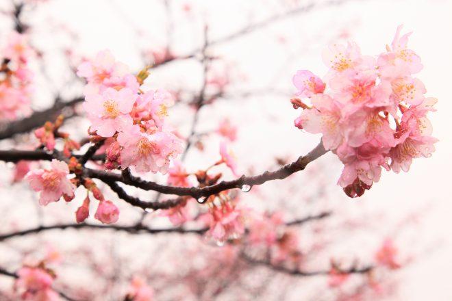 花開いた桜に雨のしずくが付いている