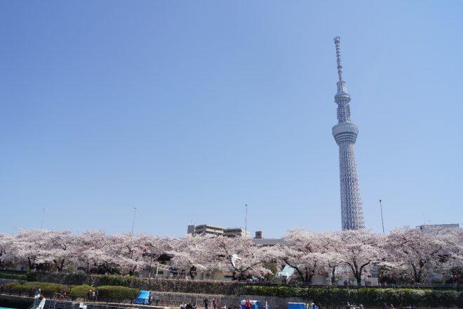 満開の桜並木の後ろにスカイツリーが見える