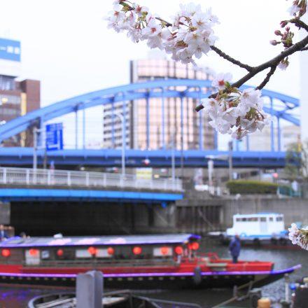 屋形船と歴史ある橋を背景にした桜のアップ写真