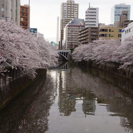 川の両岸に満開の桜が咲いている