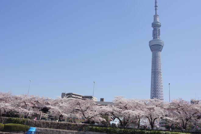 間近に見えるきれいな桜とスカイツリー