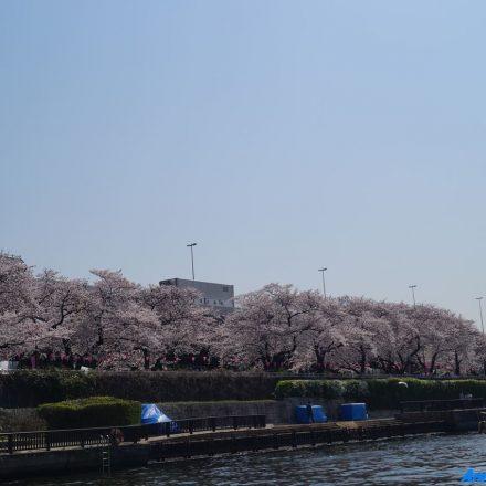 船から見える隅田川沿いの桜並木