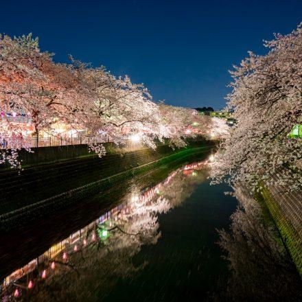 大岡川の川岸に咲く桜