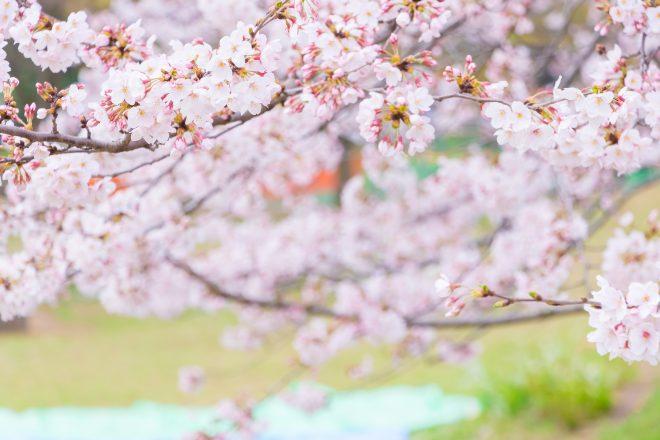 間近で見る美しい桜