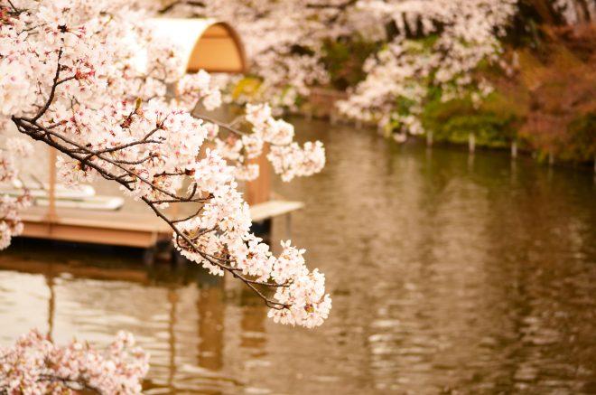 川岸に咲く桜と船着き場