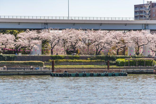 川沿いに咲く満開の桜