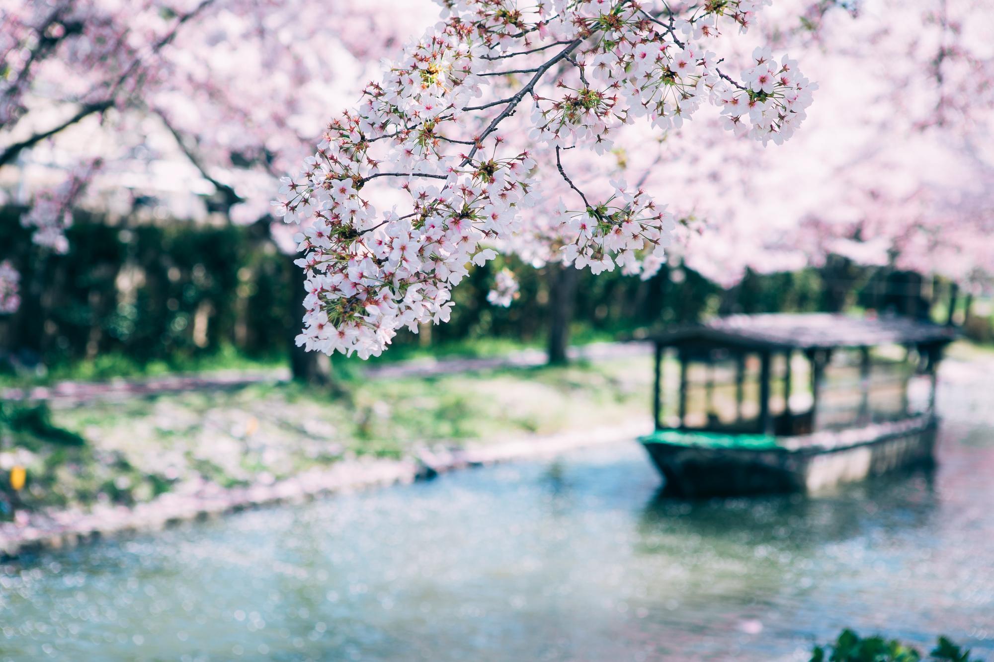 桜の下に流れる川と屋形船