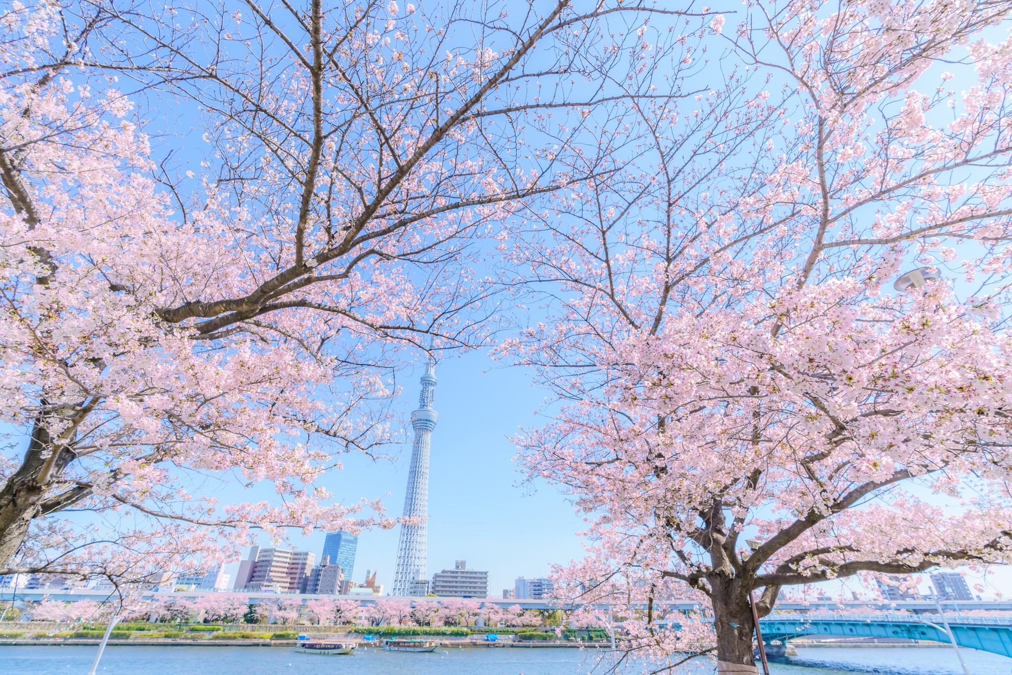 桜と背景にある隅田川とスカイツリー