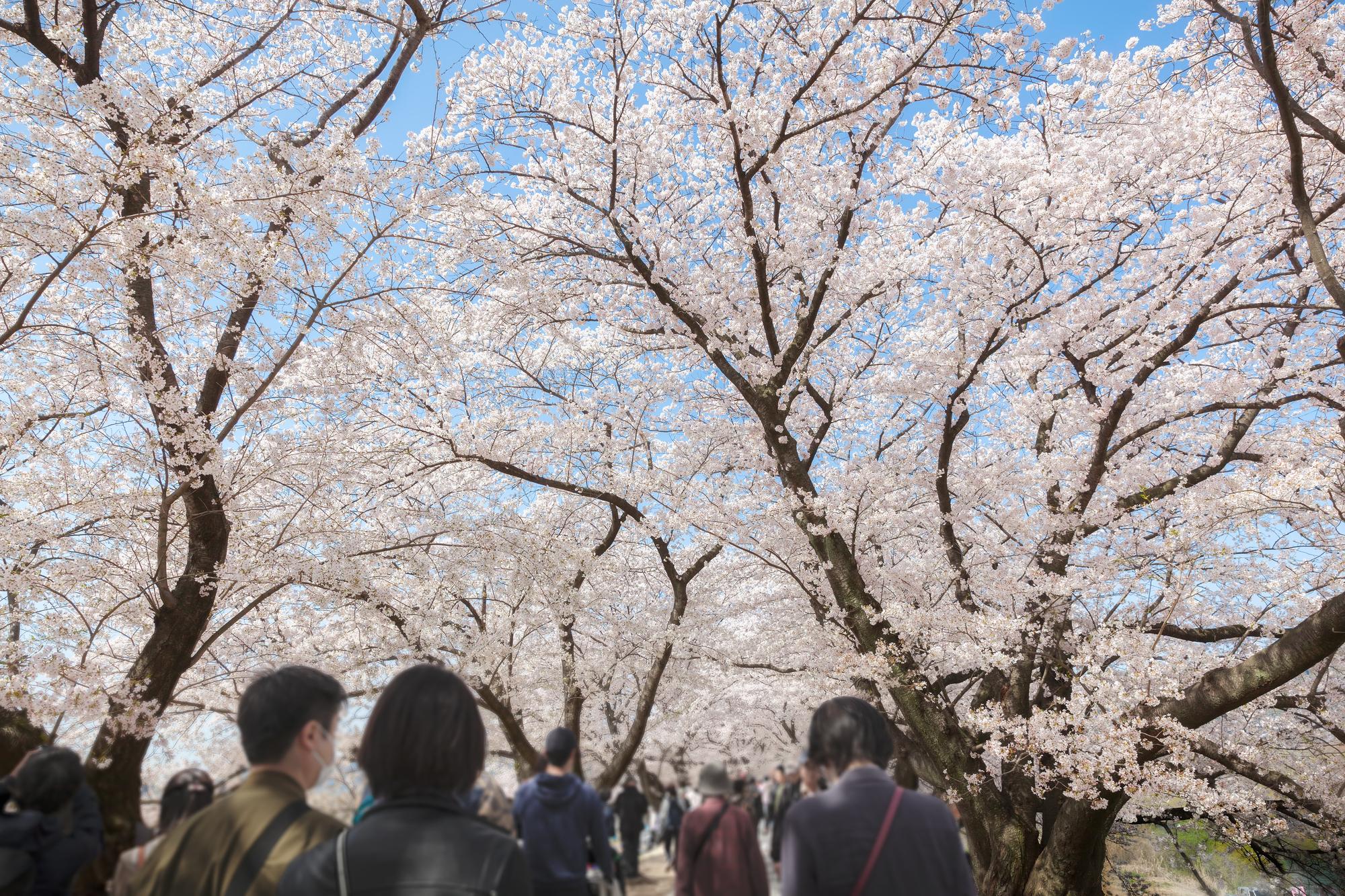 桜並木の下で混雑